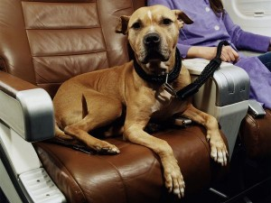 aereo dog airplane cane in aereo petlocal